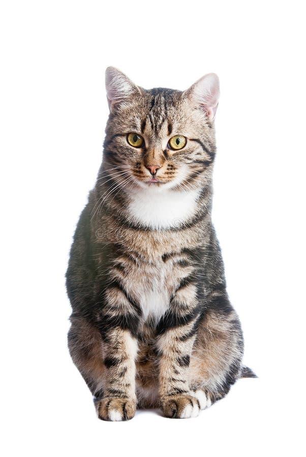 chat europ en dans l 39 avant sur un fond blanc image stock image du animal mammif re 14664337. Black Bedroom Furniture Sets. Home Design Ideas