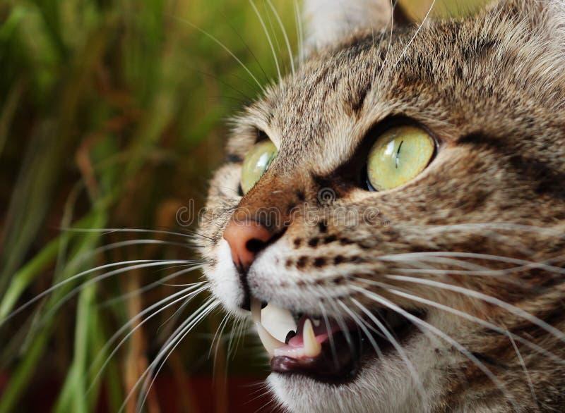 Chat fâché de chasse