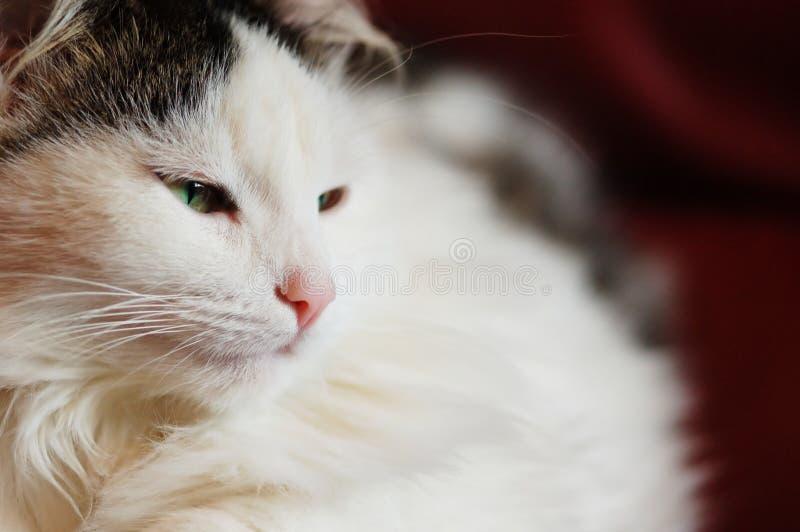 Chat fatigué photo stock