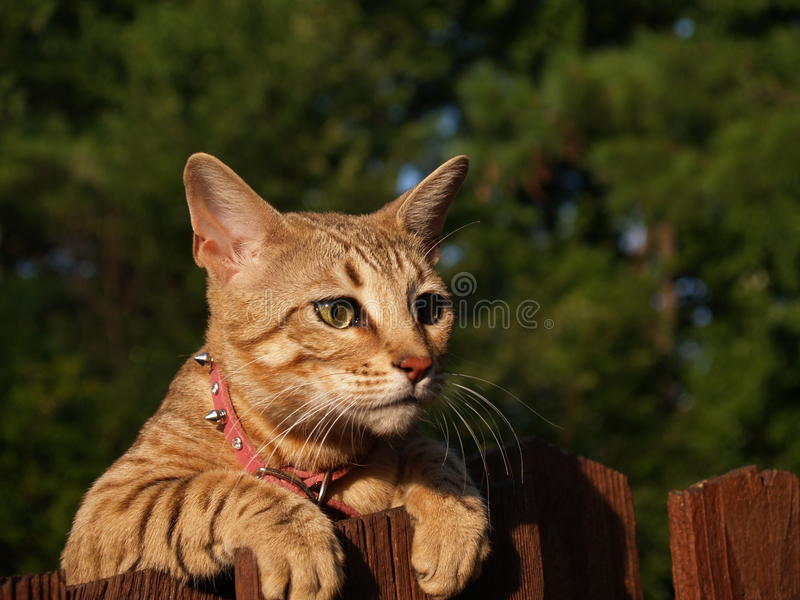 Chat femelle de la savane de Serval photos stock