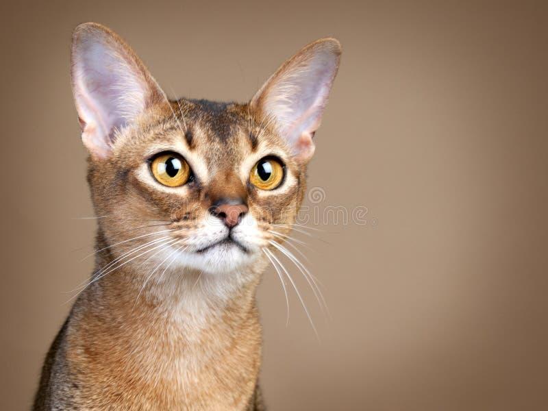 Chat femelle magnifique d'Abysssinian images libres de droits