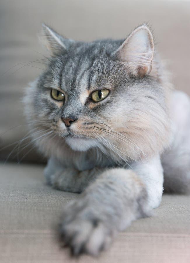 Chat fier noble se trouvant sur le divan Les Anglais avec la fourrure grise images stock