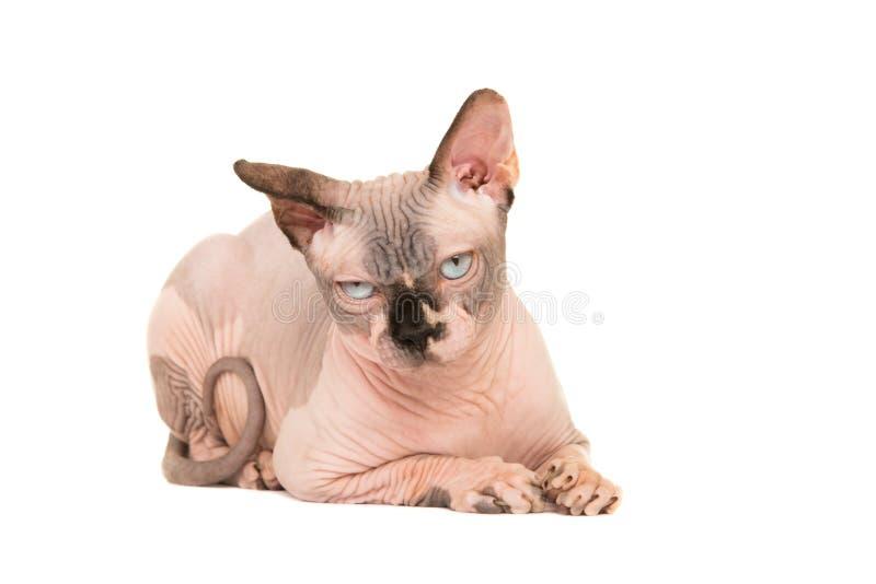 Chat froissé nu de sphinx se trouvant vers le bas regardant grincheux photographie stock