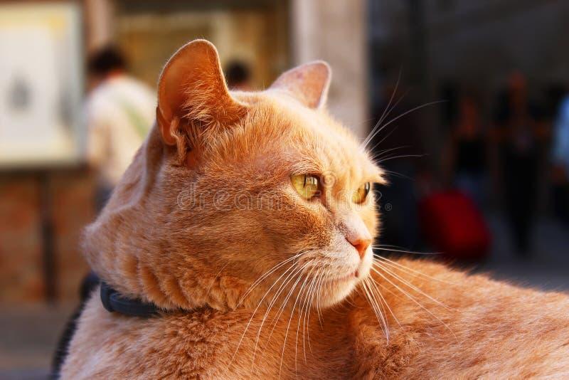 Chat grincheux de gingembre se tenant sérieux - vue de tête latérale photographie stock