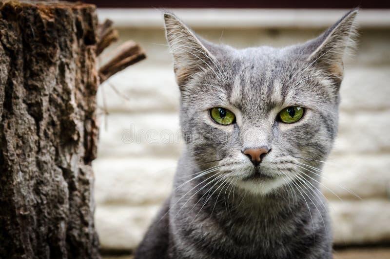 Chat gris image libre de droits