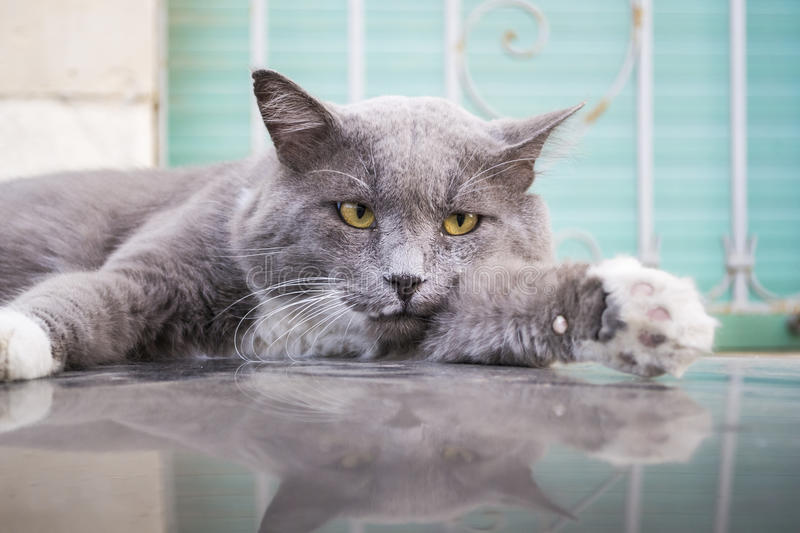 Download Chat gris photo stock. Image du surface, mensonge, furry - 76085204