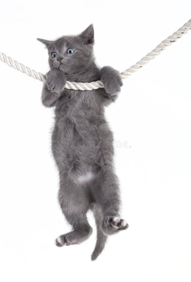 Chat gris accrochant sur la corde image stock
