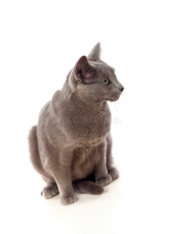 Chat gris adorable avec les yeux verts image stock