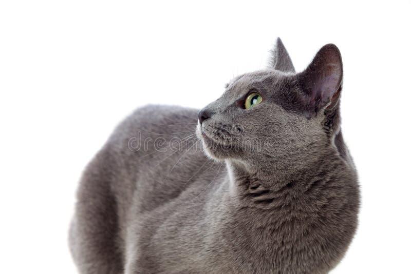 Chat gris adorable avec les yeux verts image libre de droits