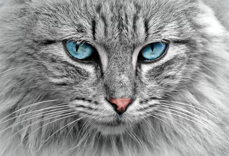 Chat gris avec des yeux bleus photographie stock libre de droits
