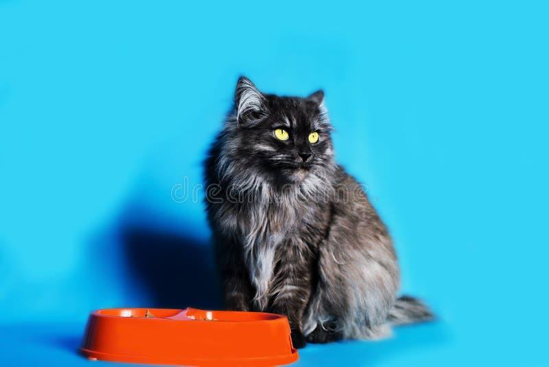 Chat gris avec les yeux jaunes avec un bol de nourriture sur le fond bleu photo libre de droits