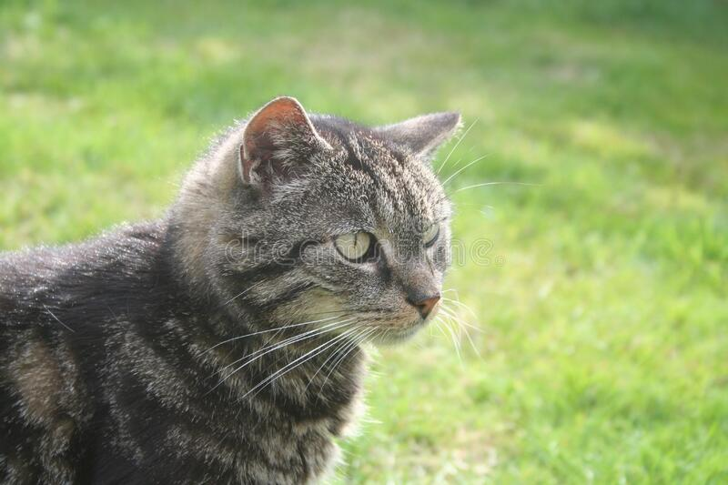Chat gris dehors image stock