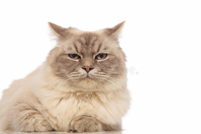 Chat gris ennuyé drôle avec le mensonge d'yeux bleus image libre de droits