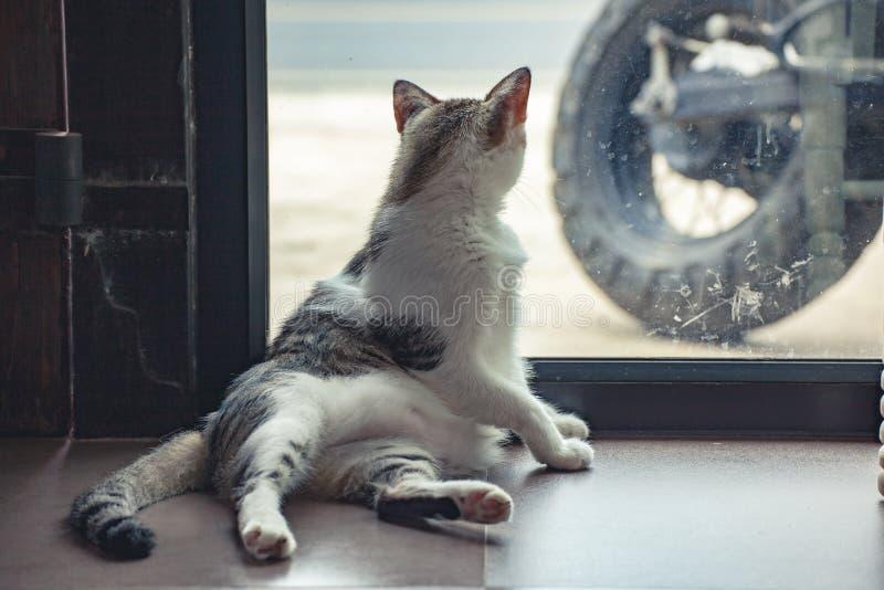 Chat gris et blanc image libre de droits