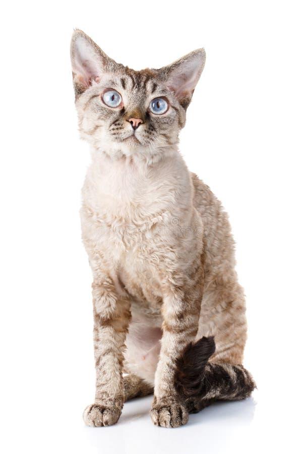 Chat gris gentil de rex du Devon image stock