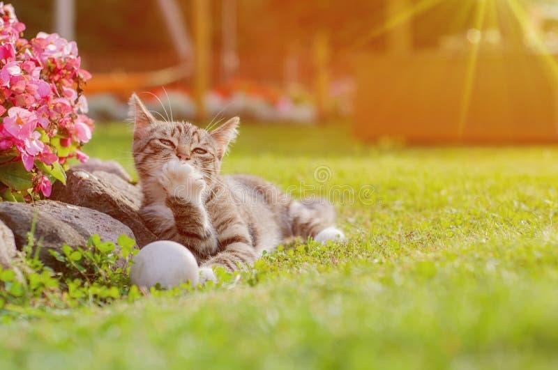 Chat gris jouant avec la boule blanche sur l'herbe Petite Kitten Playing With Ball In le jardin Le chat gris lèche la patte images libres de droits