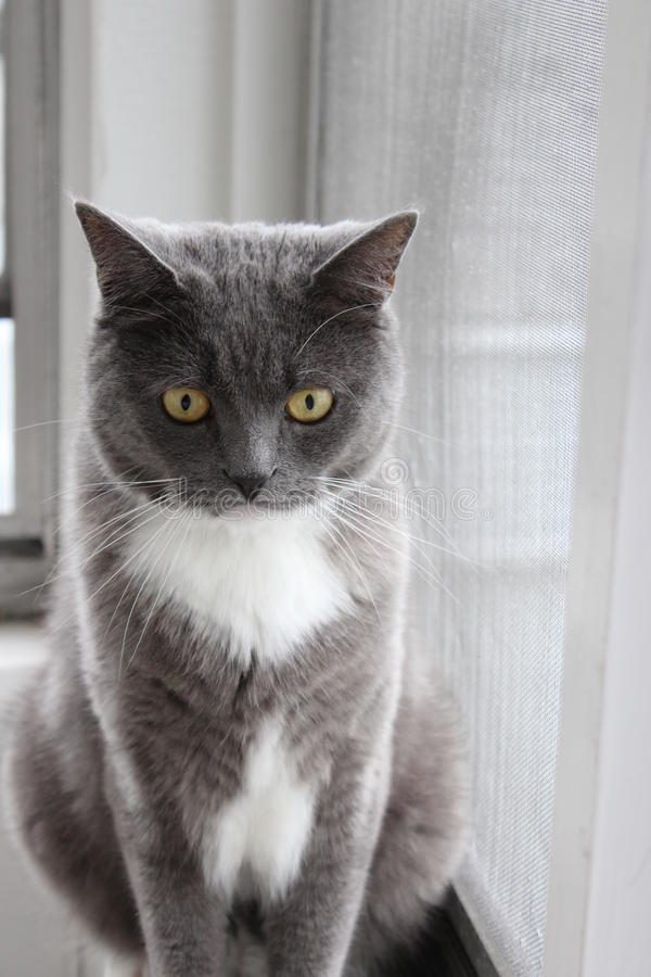 Chat gris par la fenêtre images libres de droits