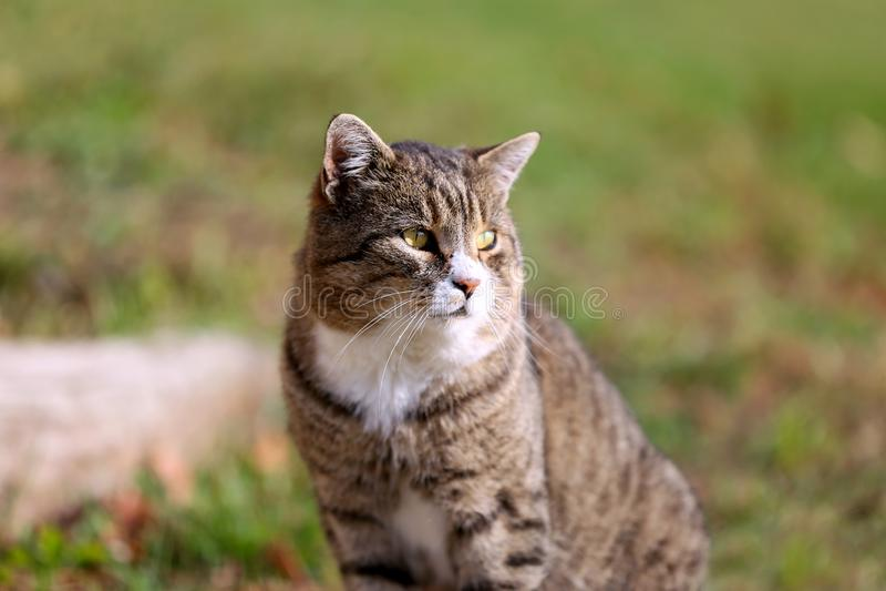Chat gris posant dans l'extérieur d'herbe verte image stock