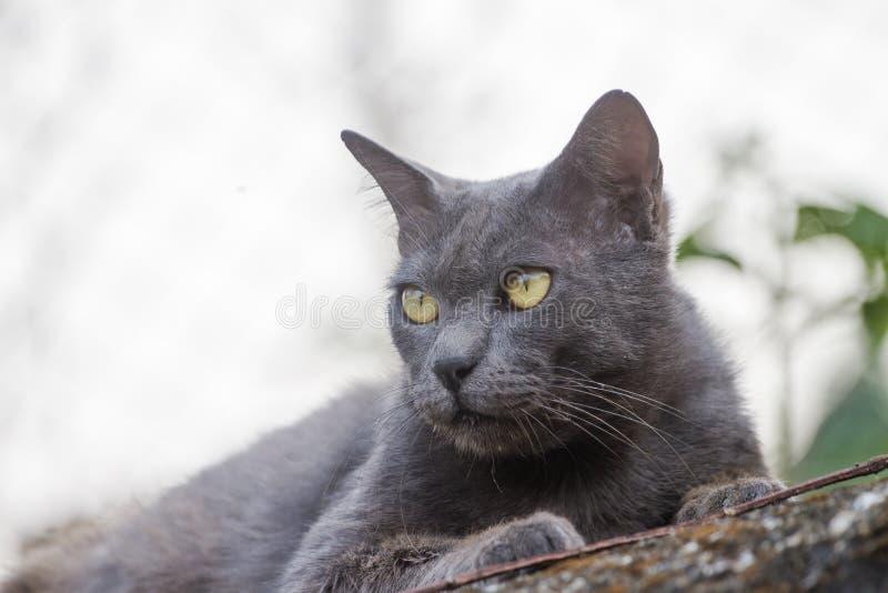 Chat gris se reposant derrière la Chambre à l'arrière-plan photos libres de droits