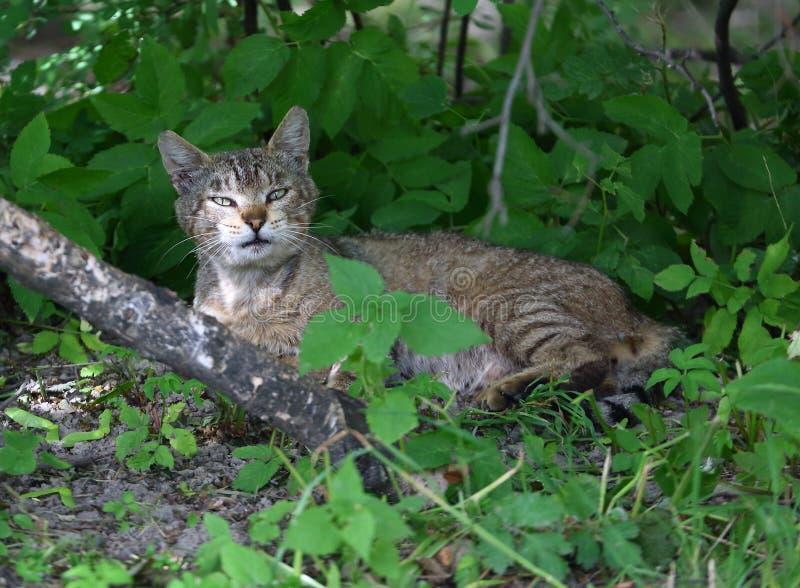 Chat gris se situant dans les bosquets du vert photo libre de droits