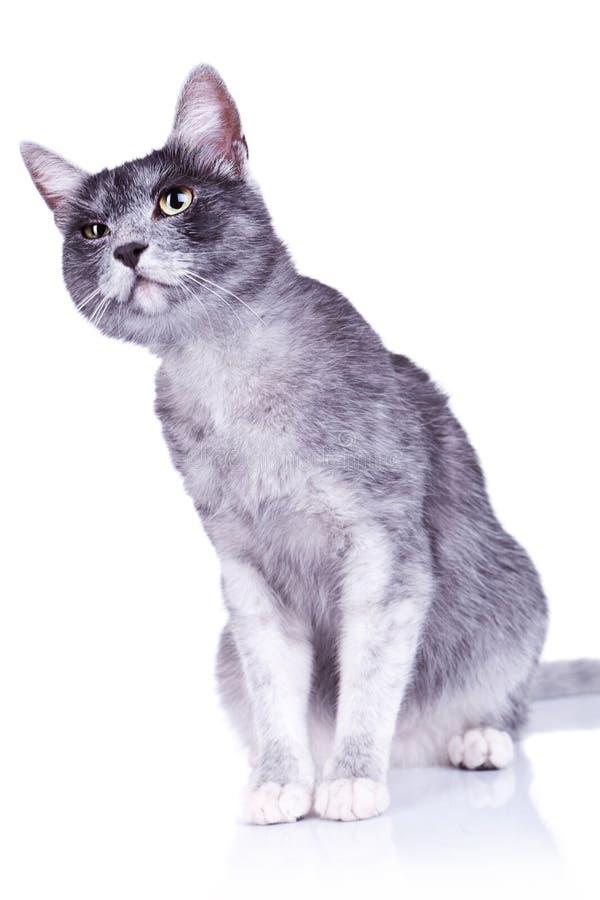 Chat gris soupçonneux image stock