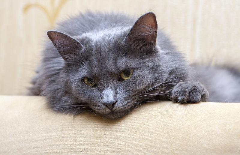 Chat gris sur le sofa photo libre de droits