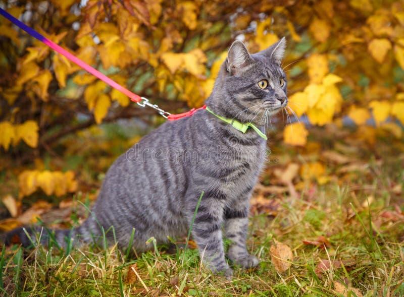 Chat gris sur une promenade en parc d'automne photo stock