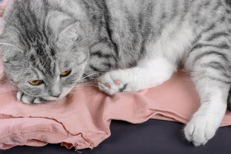 Chat gris tigré se trouvant sur le tissu de pêche Concept des vêtements fripés et velus photo libre de droits