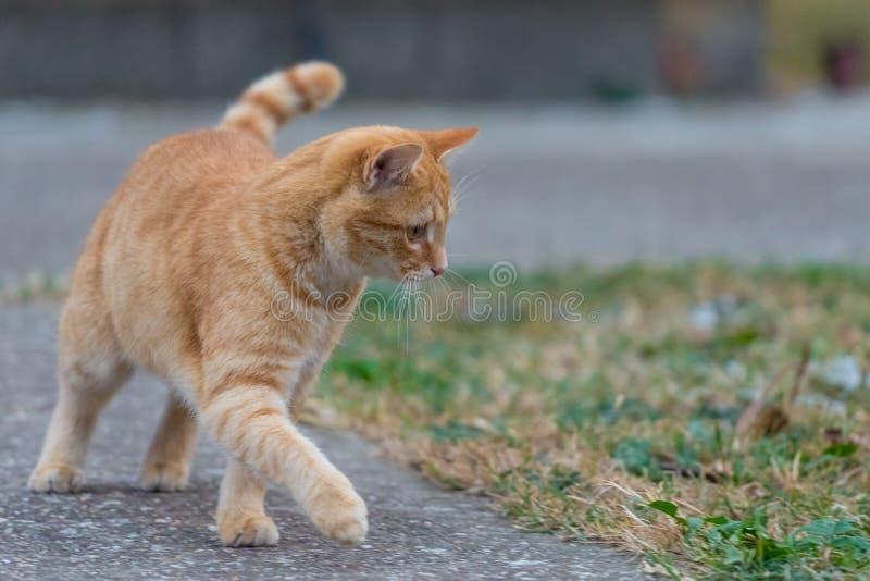 Chat jaune marchant pour jeter la cour à côté de l'herbe photo stock