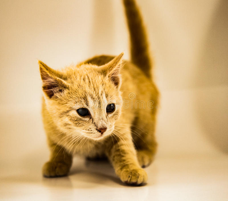 Chat jaune possédé photographie stock