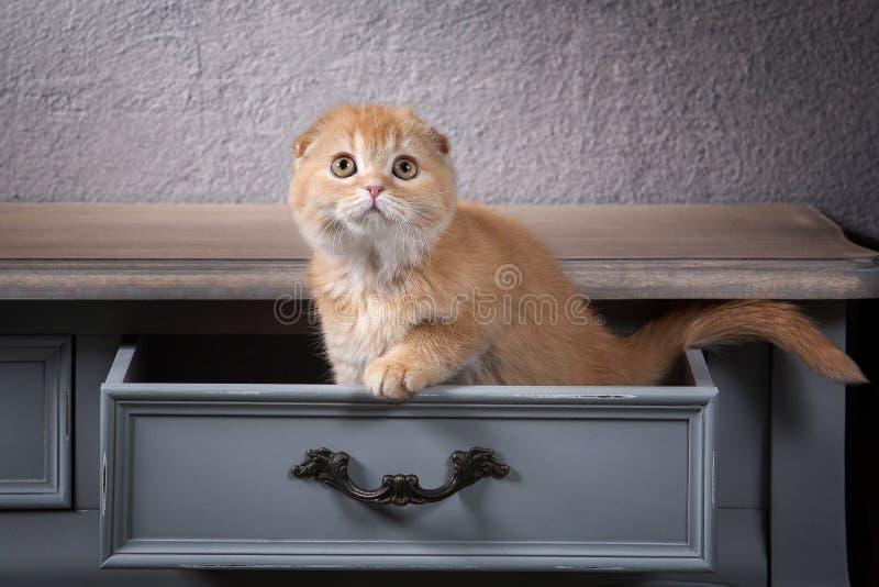 Chat Les écossais plient le chaton sur la table en bois et le backgroun texturisé photos stock