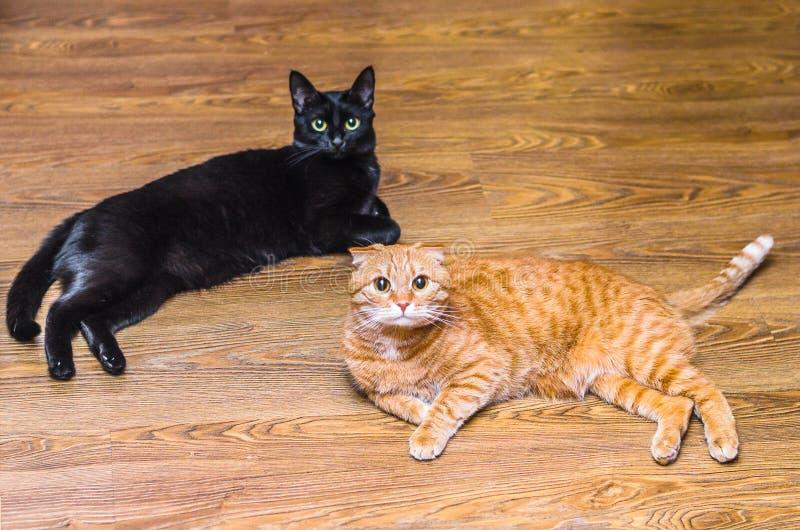 Chat lisse noir et de pli de chat mensonge écossais rouge tranquillement sur le stratifié et regard à la caméra photos stock