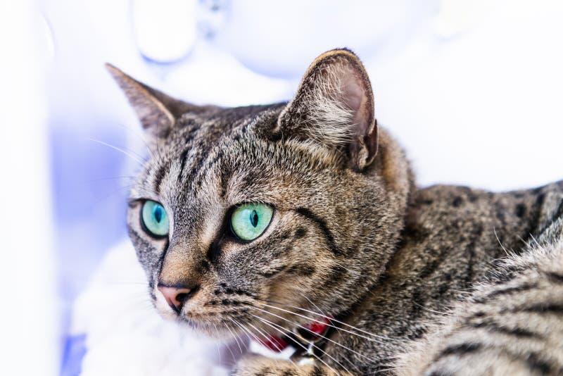 Chat maigre et sportif du Bengale avec des yeux bleus photo stock