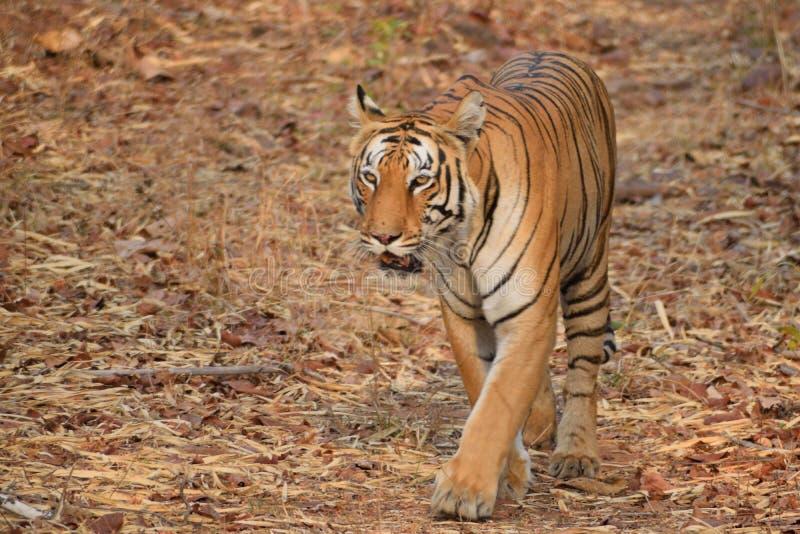 Chat marchant le tigre de Bengale royal à la réservation de tigre de Tadoba, Inde image stock