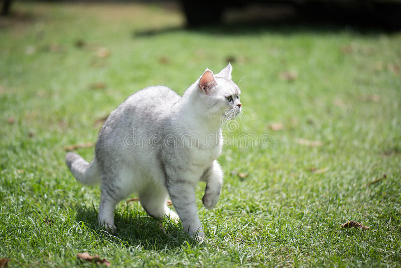 Chat marchant sur des gras verts photographie stock