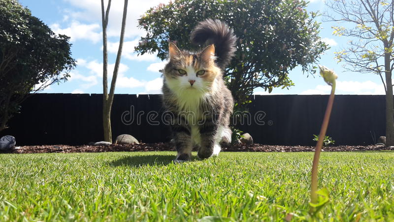 Chat marchant sur l'herbe images stock