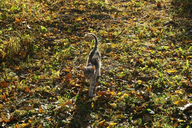 Chat marchant sur l'herbe photographie stock libre de droits