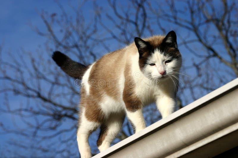 Chat marchant sur le toit photo stock