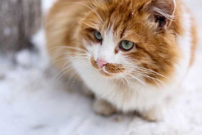 Chat merveilleux de gingembre sur la neige photos libres de droits