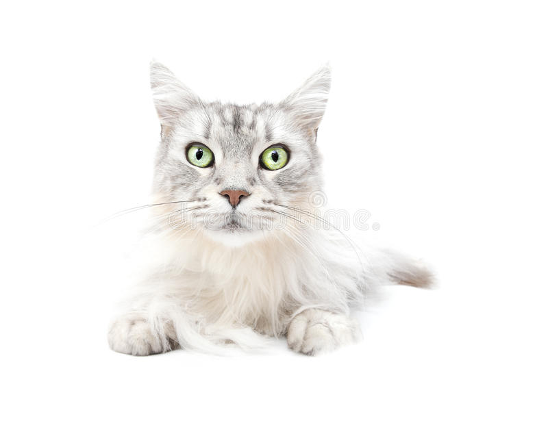 Chat mignon images stock