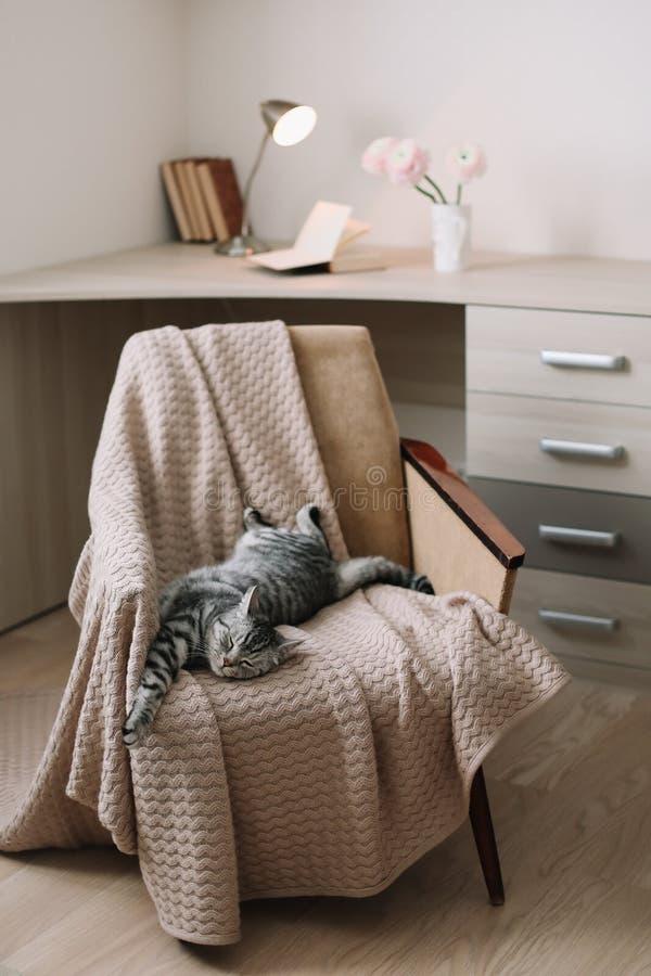 Chat mignon d'animal familier à la maison se trouvant sur le fauteuil à la maison Portrait gris droit écossais mignon de chat tig image libre de droits