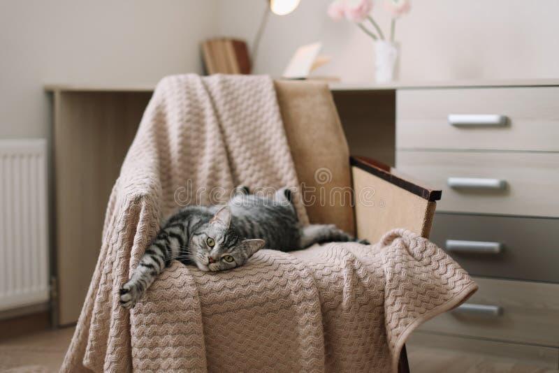 Chat mignon d'animal familier à la maison se trouvant sur le fauteuil à la maison Portrait gris droit écossais mignon de chat tig photo libre de droits