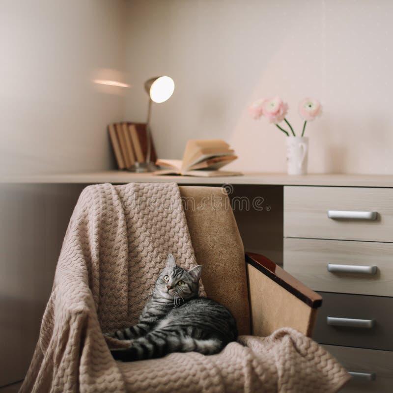 Chat mignon d'animal familier à la maison se trouvant sur le fauteuil à la maison Portrait gris droit écossais mignon de chat tig photos stock