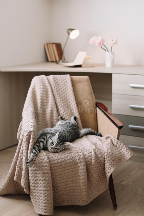 Chat mignon d'animal familier à la maison se trouvant sur le fauteuil à la maison Portrait gris droit écossais mignon de chat tig photo stock