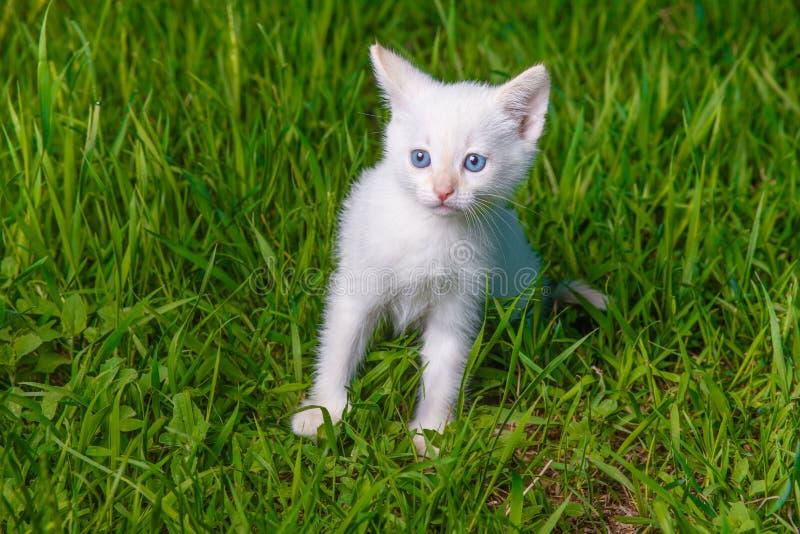 Chaton Angora Blanc Yeux Bleu