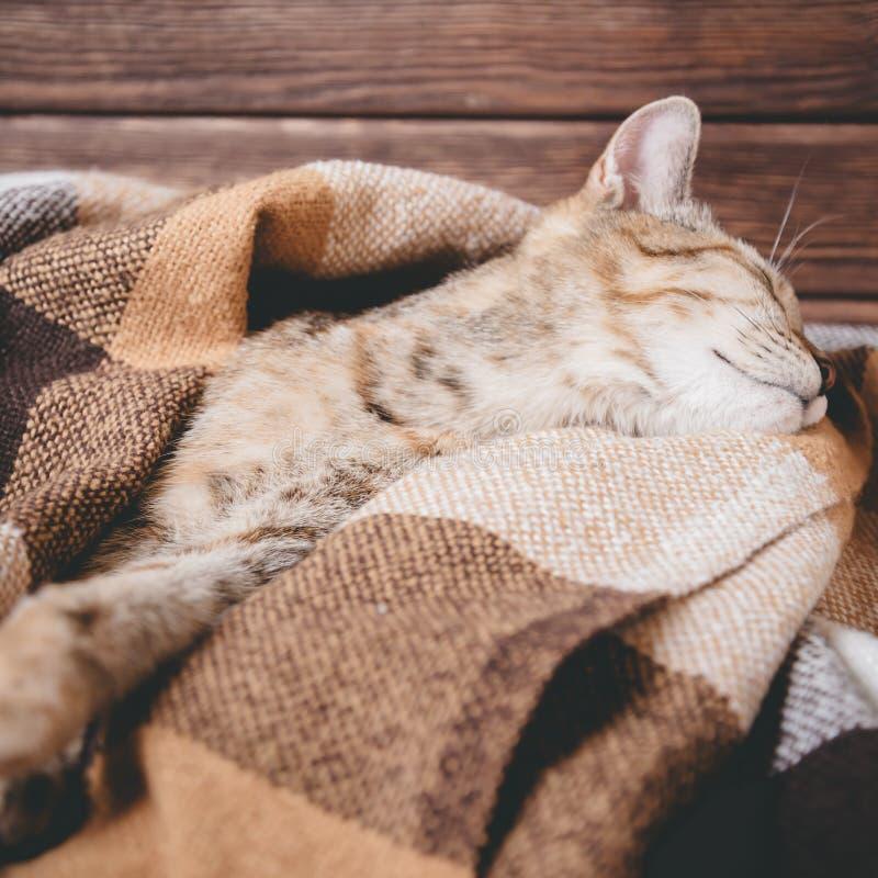 Chat mignon dormant sur le plaid photographie stock libre de droits