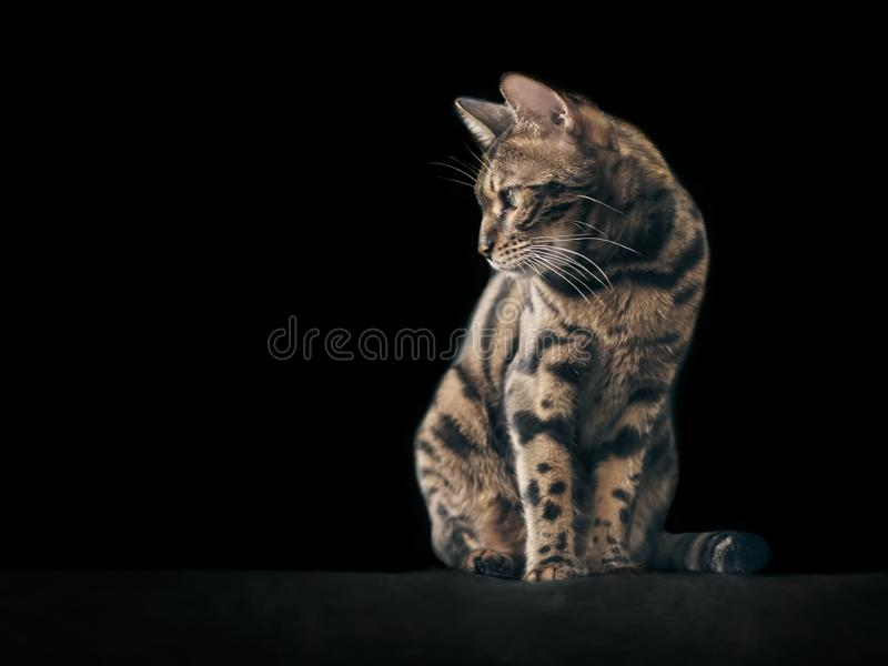 Chat mignon du Bengale se reposant et regardant loin photos stock
