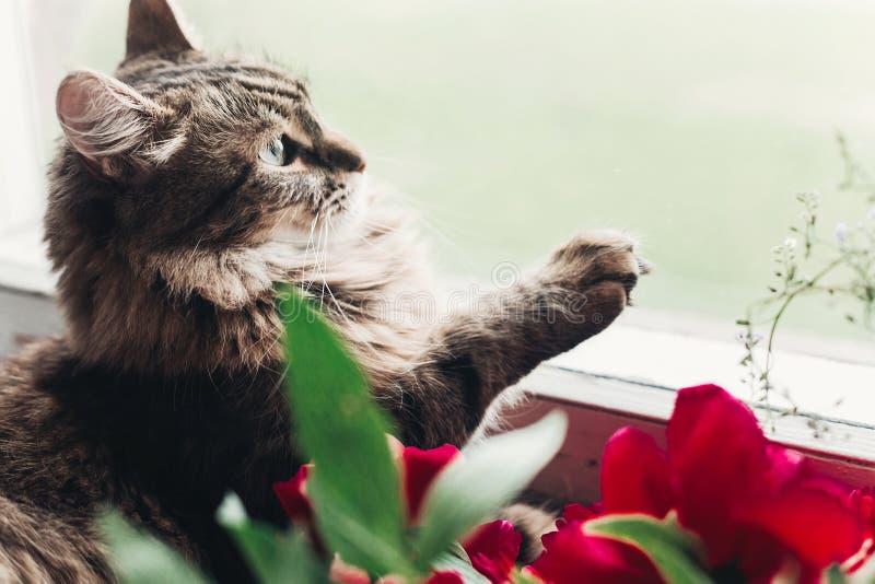 Chat mignon se reposant sur le filon-couche de fenêtre avec de belles pivoines rouges et p photo stock