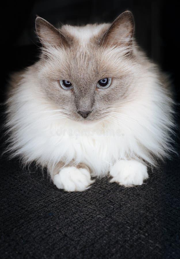 Chat mignon superbe de ragdoll posant comme petite boule de fourrure avec de beaux yeux entraînants et regard curieux photo stock