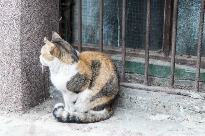 Chat multicolore pelucheux se reposant près des vieux murs de la maison photo stock